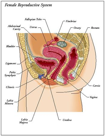 Female internal organs pictures