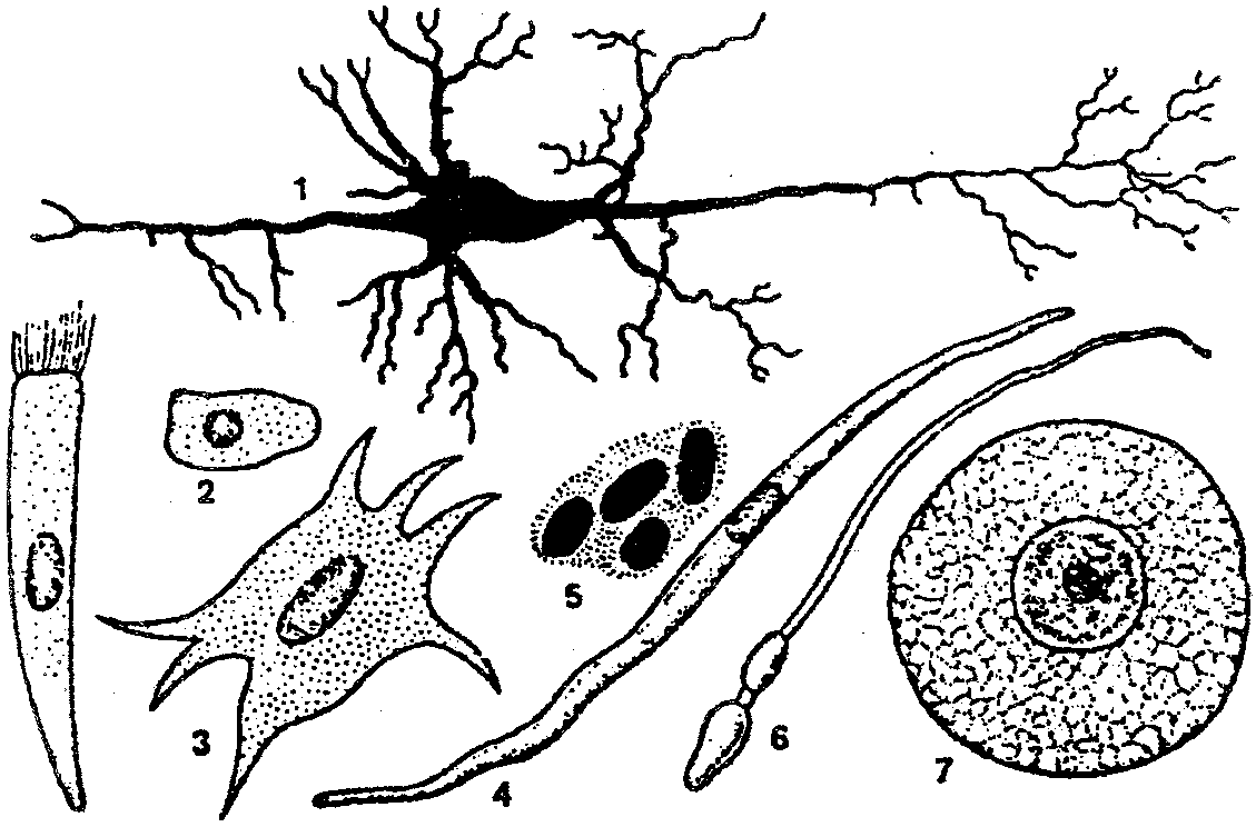 Клетка Пирамидальная