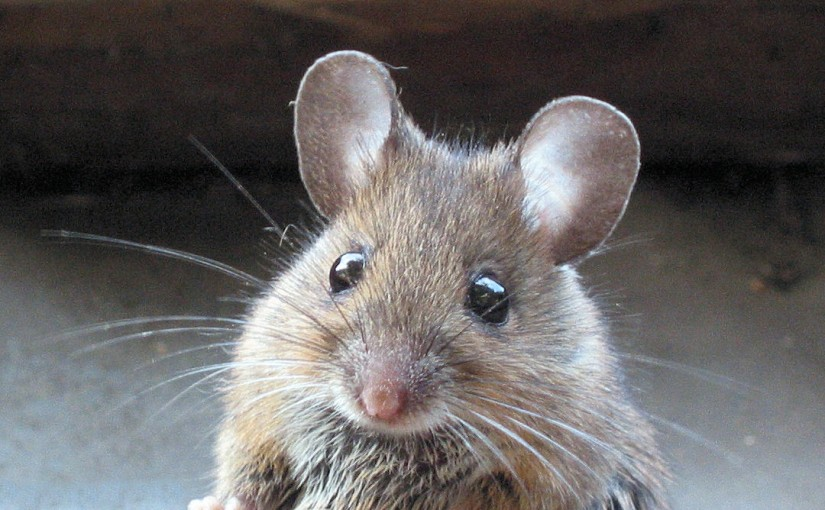 Homeopathic Proving of Mus musculus, Common Household Mouse