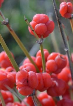 Ephedra vulgaris