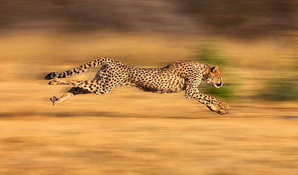 15 Fast Facts About Cheetahs  Mental Floss