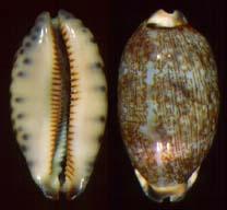 cypraea-eglantina