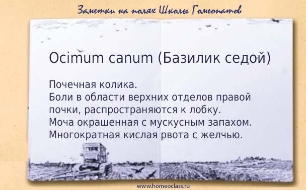 Ocimum canum
