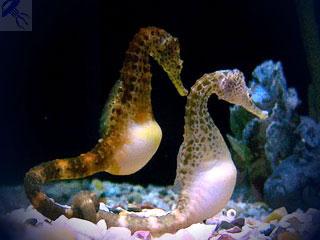 hippocampus-kuda